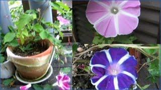 全国こども科学映像祭受賞作品(68)アサガオの花~新たな花の色を求めて~