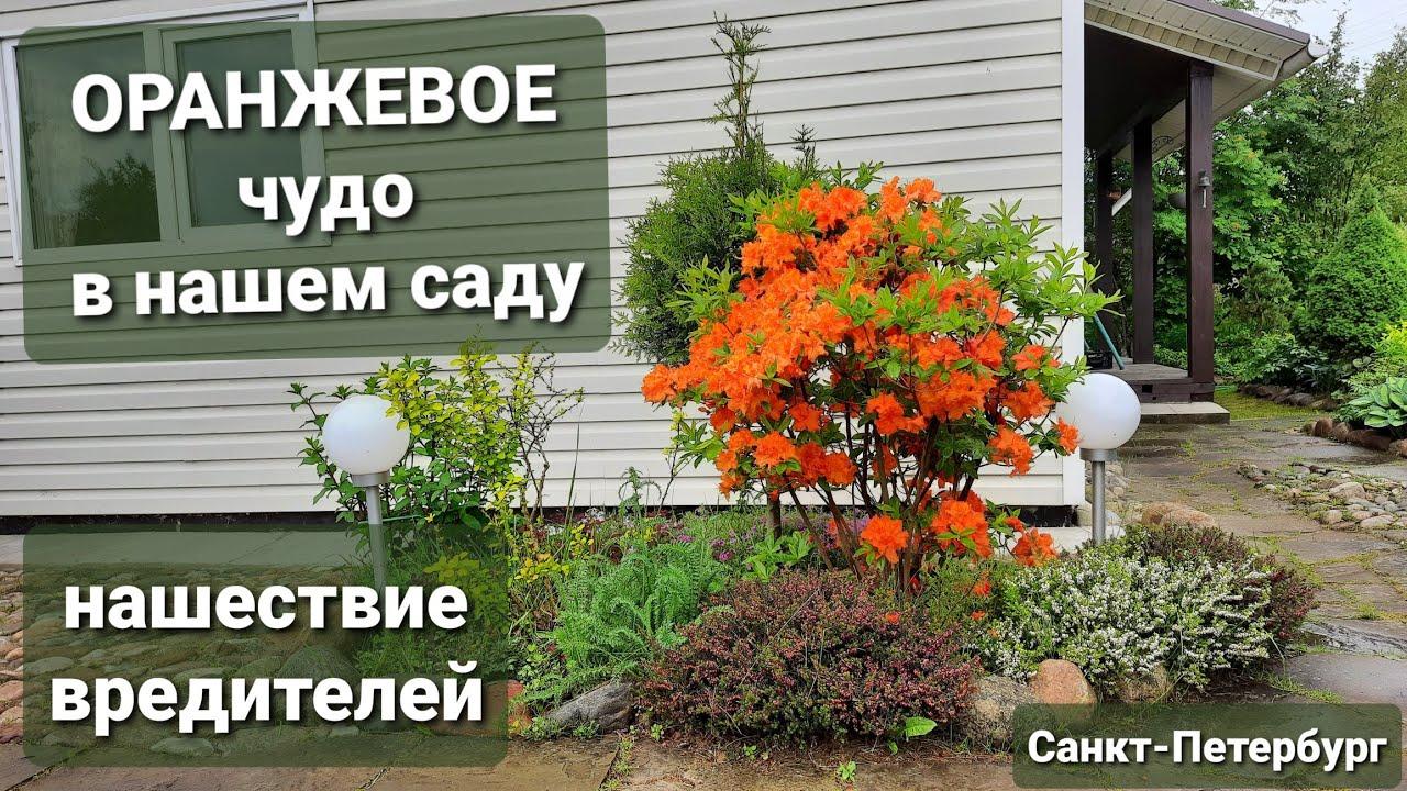 Рыжее чудо - азалия листопадная