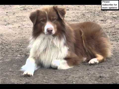 Australian Shepherd Red Tri Blue Eyes Collection Of Pictures | Australian Shepherd Red Tri Blue Eyes