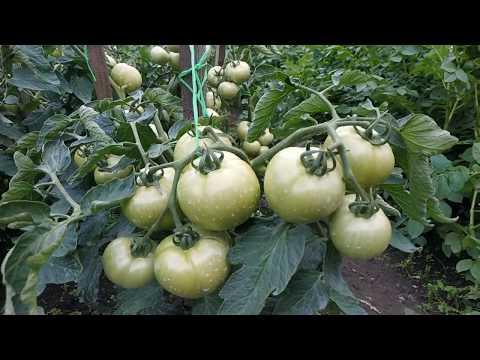 Вопрос: От чего зависит урожайность томатов в открытом грунте?