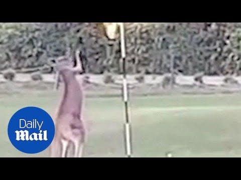 Kangaroo tries to fight with a pole in Queensland, Australia - Daily Mail