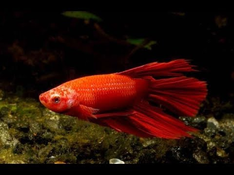 Чем болеет рыбка петушок