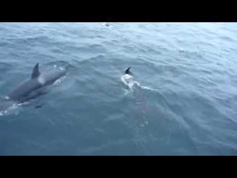 Orcas play with Elephant Seal