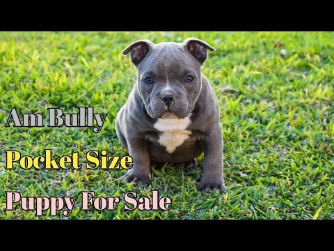 American Bully Pocket Size Puppy For Sale Scoobers Gwalior Pet Shop Youtube