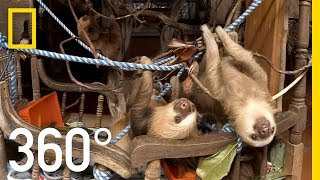 Rehabilitating Baby Sloths in Costa Rica - 360 | National Geographic thumbnail