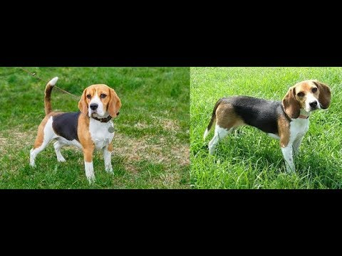 Beagle ( the difference)