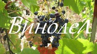 Изготовление домашнего вина из винограда изабелла