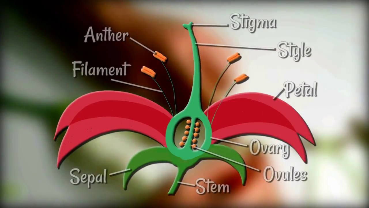 medium resolution of Flower Dissection - Reproduction in flowering plants - YouTube