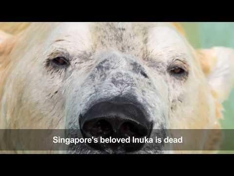Inuka, First Polar Bear Born In The Tropics, Is Put Down