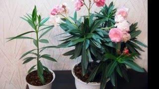 Олеандр что за растение фото и видео