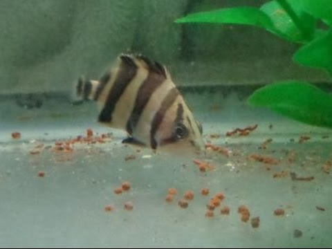 Baby indonesian tiger datnoid fish eating pellets fish for Baby koi food