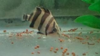 Baby Indonesian Tiger Datnoid fish eating pellets fish food!