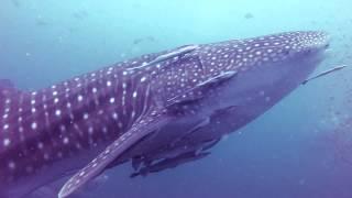 Дайвинг на Самуи. Китовая акула. Сейл рок. 04.09.15(Неожиданная встреча., 2015-09-04T15:17:45.000Z)