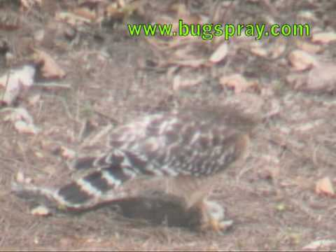Hawk Feeding on Squirrel