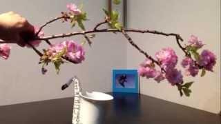 500円の八重桜を活ける