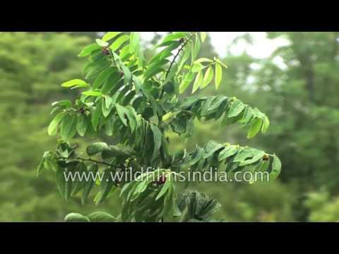 Chakramuni Sauropus androgynus known as sweet leaf: katuk shrub