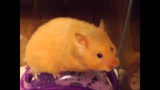 Potty Training A Syrian Hamster