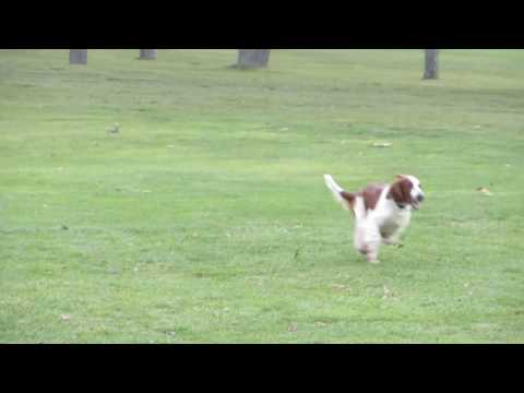 Welsh Springer Spaniel vs Canada Geese