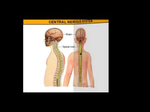 The Central Nervous System vs. The Peripheral Nervous System