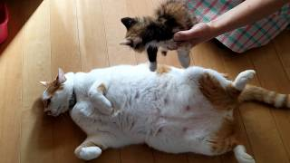 【子猫保護】先住猫からヘソ天の極意を教わるみかん猫[Kitten protection] Learn the secrets of native cats!
