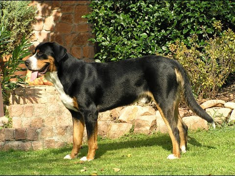 Greater Swiss Mountain Dog / Dog Breed
