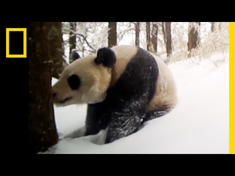 This Captive-Born Panda Just Made a Breakthrough in the Wild | National Geographic
