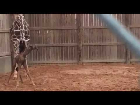 Thumbnail: Newborn Giraffe Stands Up