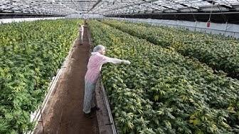 Dans les coulisses de la plus grande usine de cannabis de Suisse