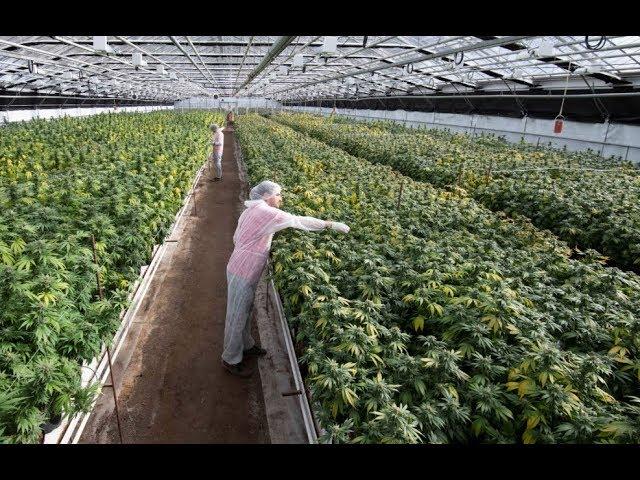 Suisse :Visite de la plus grande usine à cannabis de Suisse