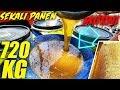 PANEN MADU MURNI 720 KG dan PANEN SARANG LEBAH #honeycomb #panenmadu #saranglebah #madumurni