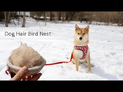 BIRD NEST FROM DOG HAIR?!