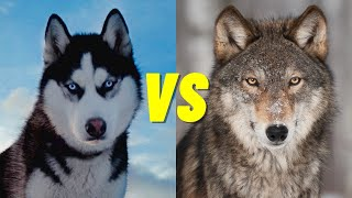 Husky VS Wolf  Whats the Difference Between a Husky and Wolf