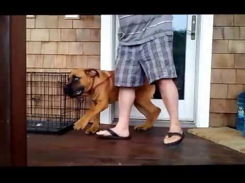 Long Island dog training,South African Boerboel puppy