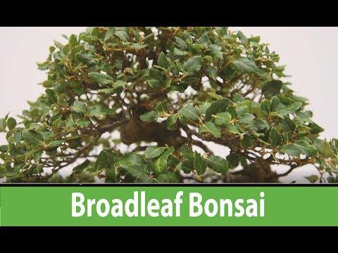 Broadleaf Bonsai Bonsai  Europa 2017,  Chinese Elm, Japanese Maples, Trident Maple bonsai trees #195