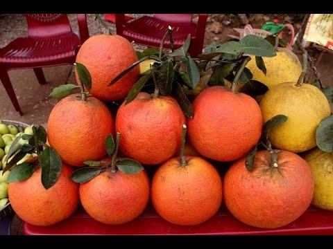 Bưởi đỏ Luận Văn (Tiến Vua) 2016-2017-red grapefruit Viet Nam