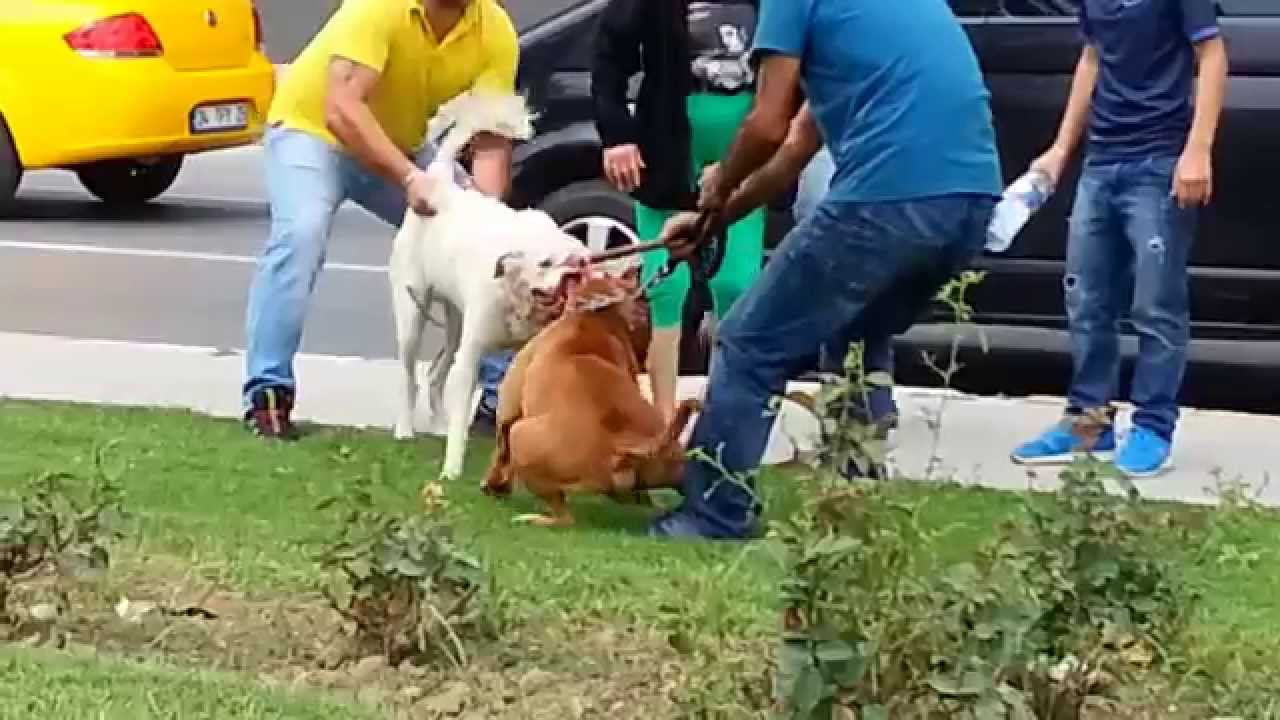 PİTBULL VAHŞETİ DOLAPDERE (PİTBULL DOG FIGHT)