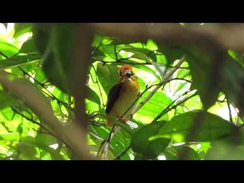 The Oriental Dwarf Kingfisher/ Black-backed Kingfisher-Singapore (2013)