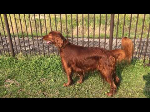 Irish setter to find the  ball desperately