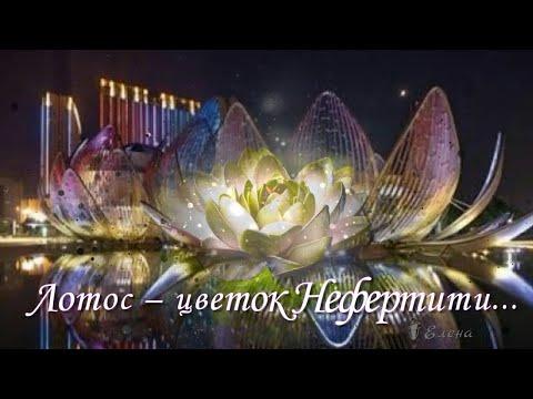 Лотос цветок Нефертити