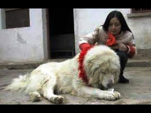 Indigenous Mastiff (Himalayan Guard Dog)