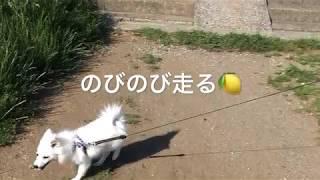 わたちレモン  <河川敷でのびのび、走るの大好き> 犬種は日本スピッツ...