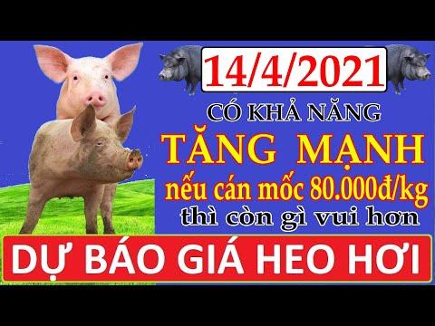 Dự báo giá heo hơi ngày 14/4/2021 | Giá lợn hơi có khả năng tăng mạnh nếu cán mốc 80.000đ/kg thì vui