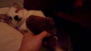 Baby Bear Welsh Corgi Sleeping Cutie