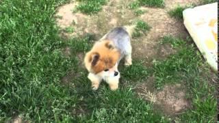 Sammy, The Rescued Pomeranian At Pomrescue.com