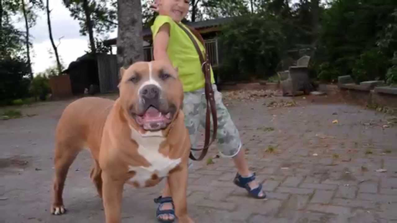 Xxl American Bully Pitbull Magnum Part 2 Youtube