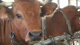 Portrait d'une future star: Bella, 7 ans, vache mascotte du Salon de l'Agriculture -- 19/02