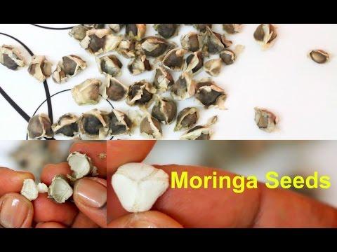 Moringa Seeds Health Benefits | How to Eat Moringa Oleifera Seeds