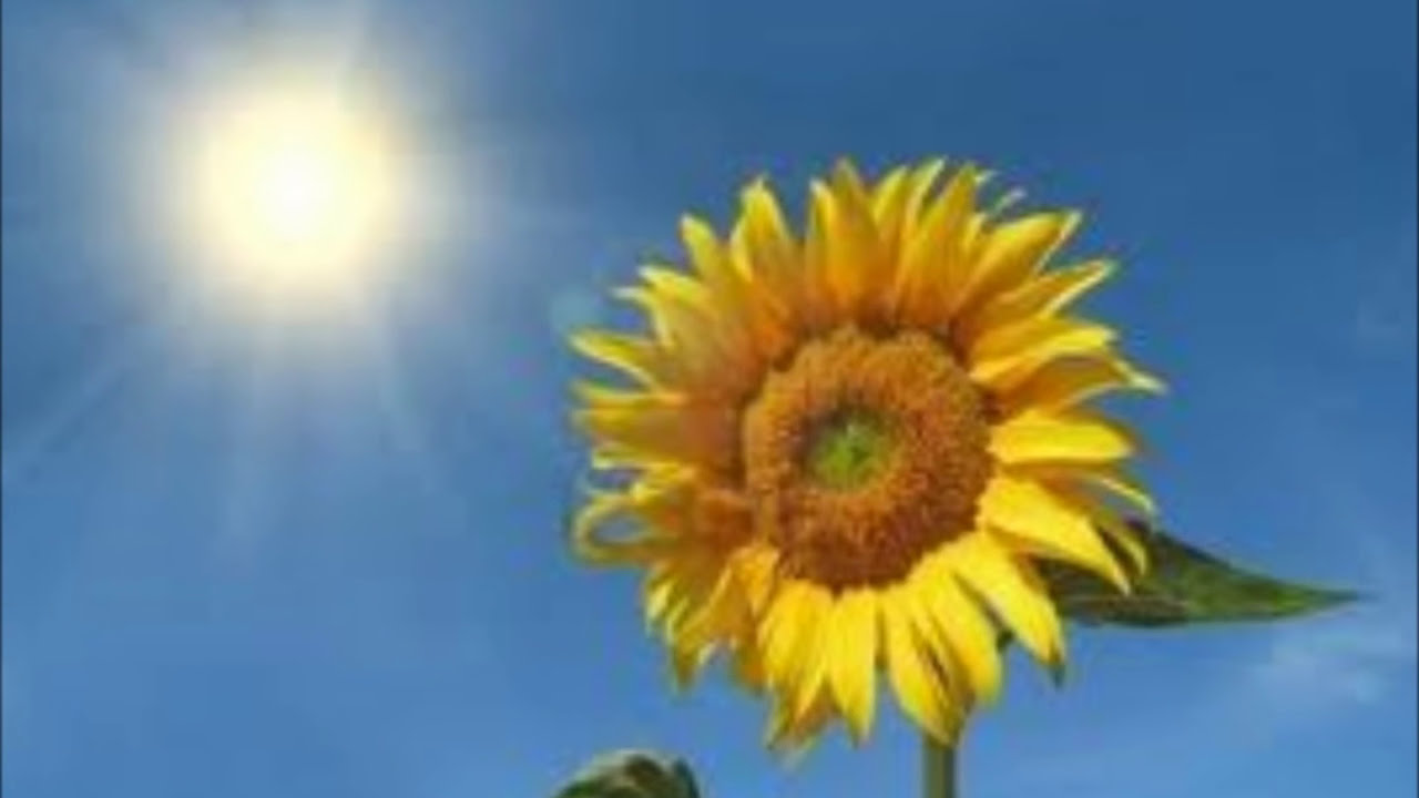 Like A Sunflower Youtube