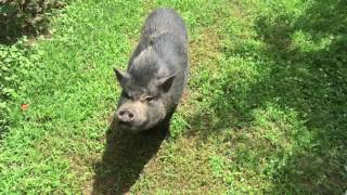 Watch this Short trip to Windy Hills Orchard in York SC to Drink Cider and play with Pigs.