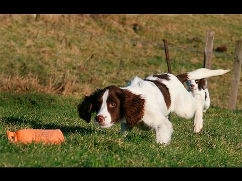 Training Max,springer spaniel 6 months.